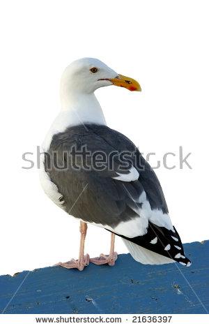 Gull De Califórnia Stock Photos, Royalty.