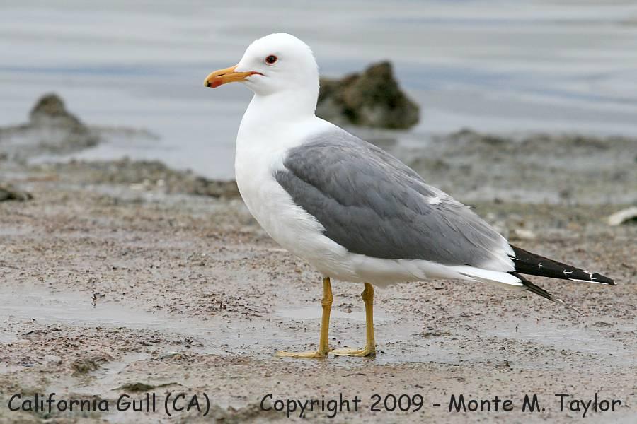 California Gull.