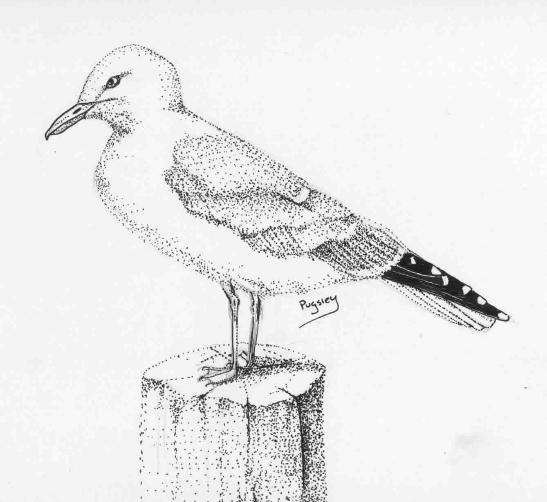 Herring Gull Clip Art.