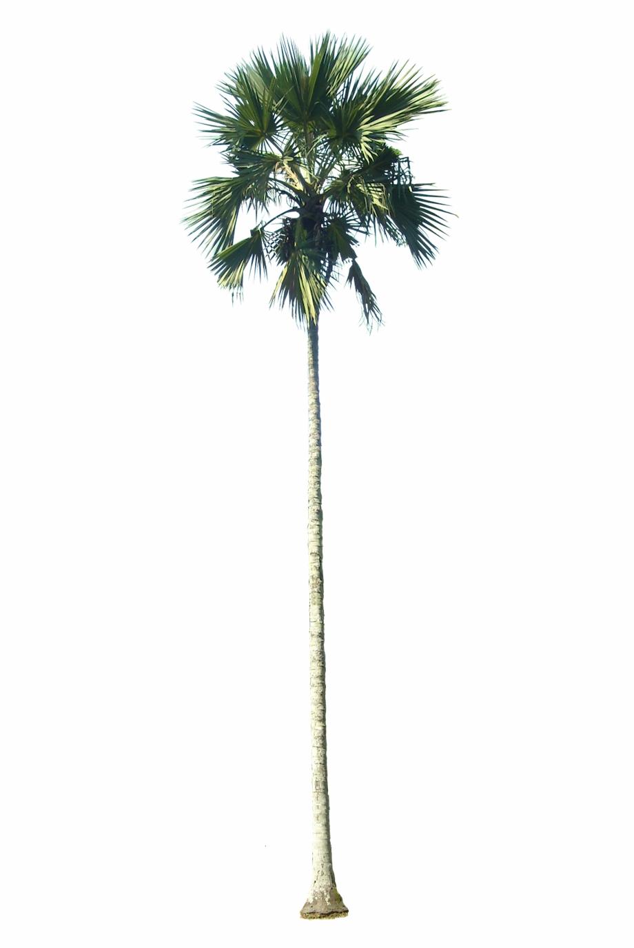 Lataniav01l Plant Images, Plant Pictures, Palm Tree.
