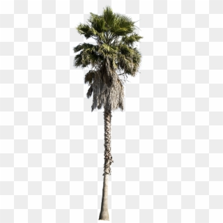 Palm Tree PNG Transparent For Free Download.