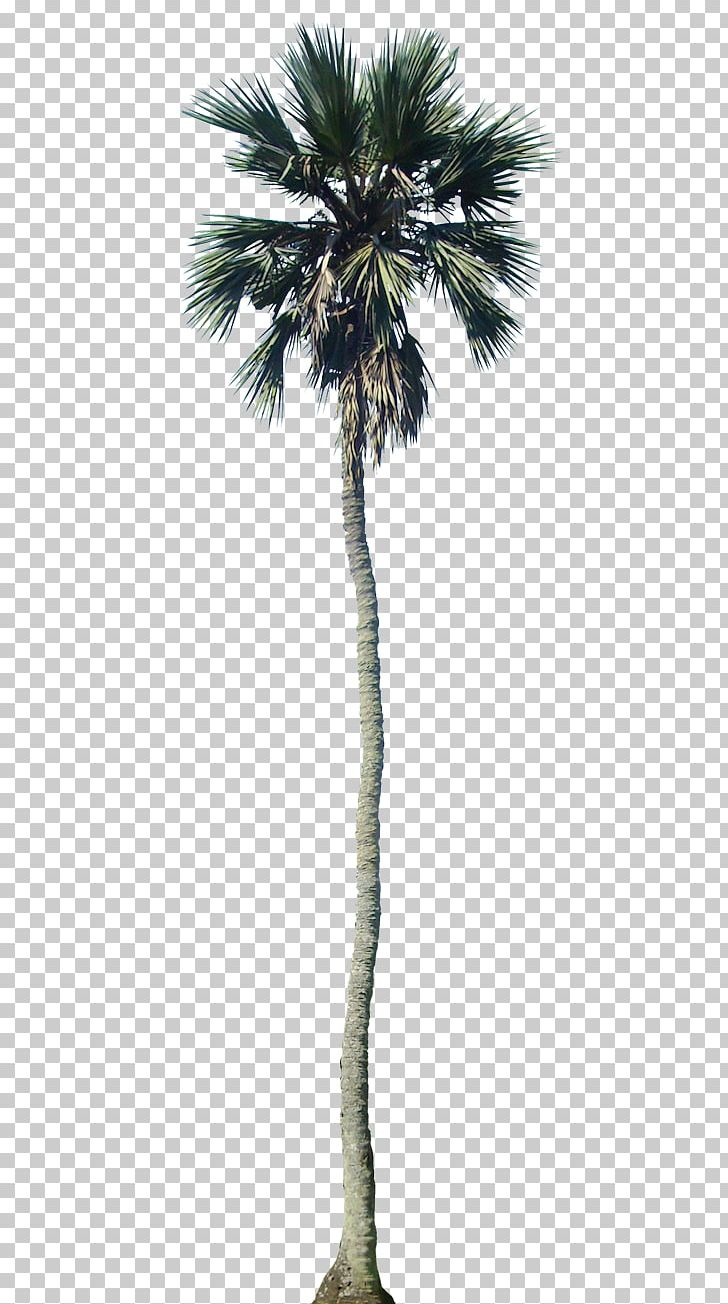 Arecaceae California Palm Tree Dypsis Decaryi PNG, Clipart.
