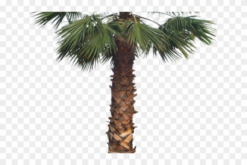 Palm Tree Png Transparent Images.