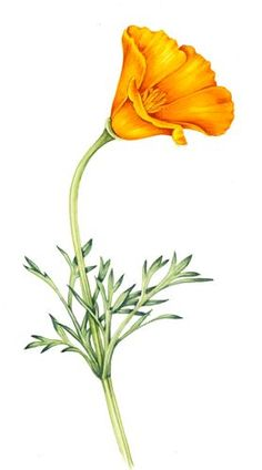 California Poppy Clipart.