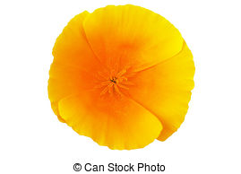 California poppy Clipart and Stock Illustrations. 17 California.