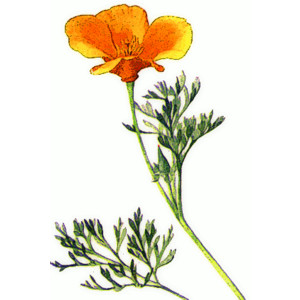 Red California Poppy Art.