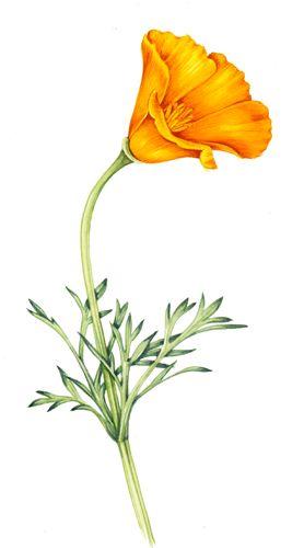california poppy clipart.