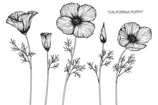 Best California Poppies Illustrations, Royalty.