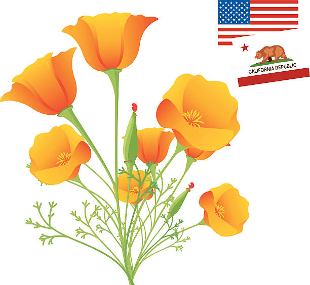 california poppy clipart #19