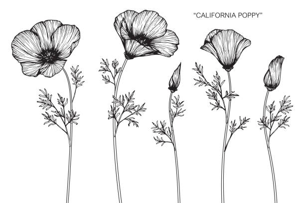 Best California Poppies Illustrations, Royalty.