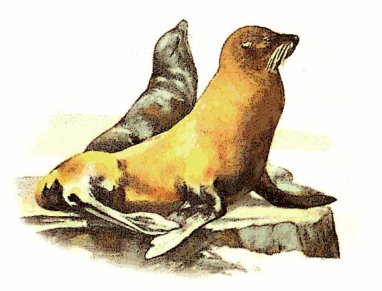 Free California Sea Lion Clipart, 1 page of Public Domain Clip Art.