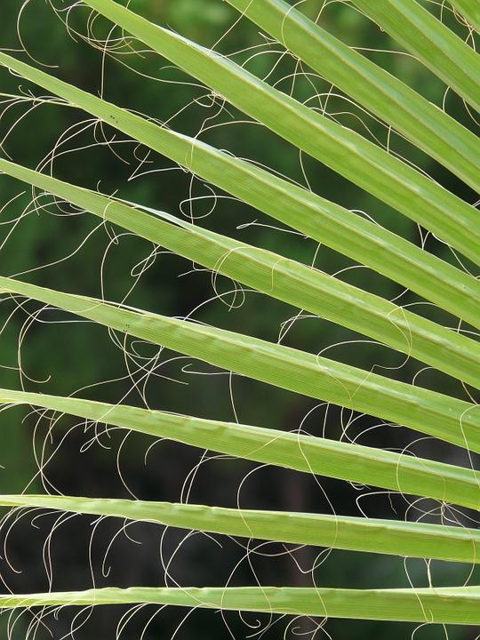 Free photo: James, Palm Fronds, Washington Palm.