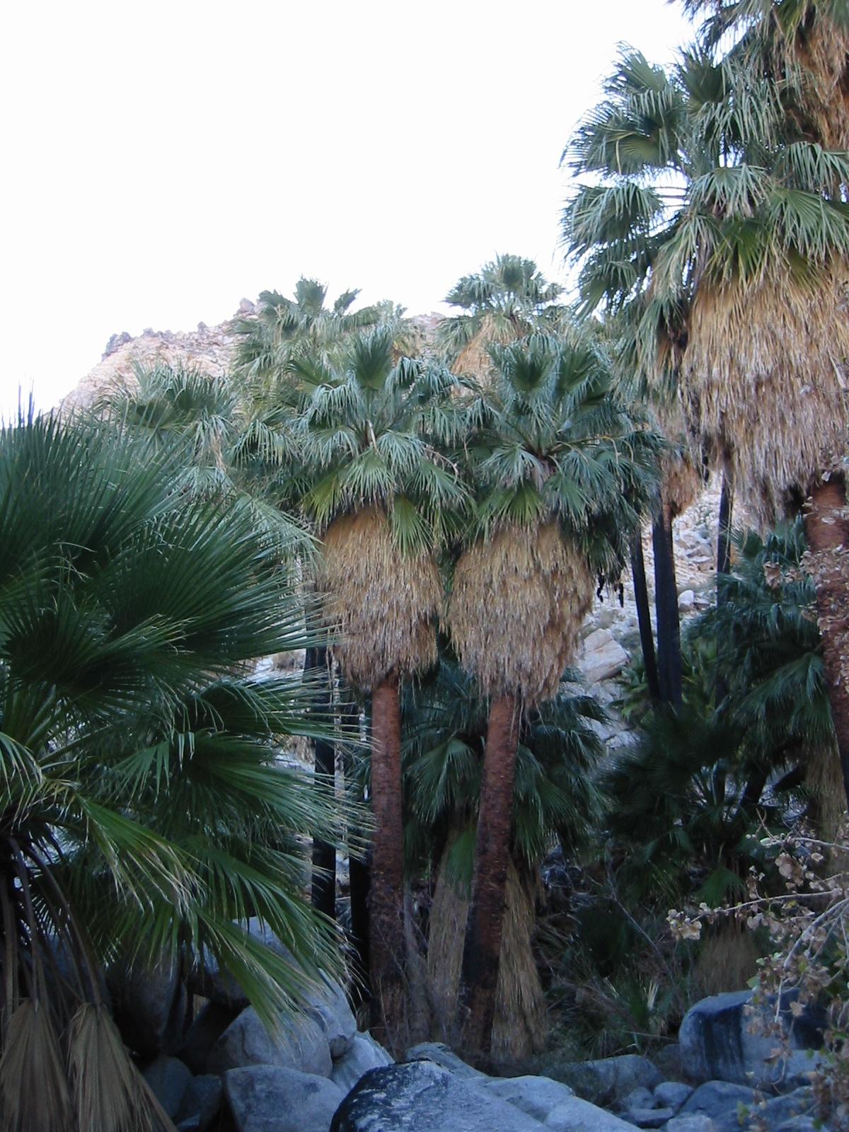 Washingtonia filifera.