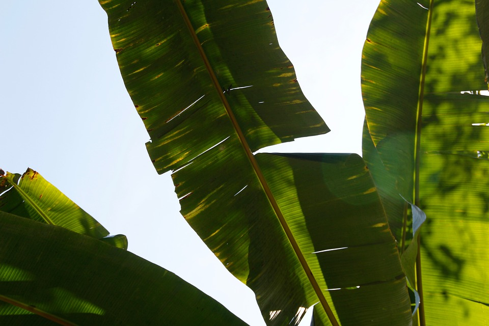 Free photo Fan Palm Washington Palm Palm Fronds James.