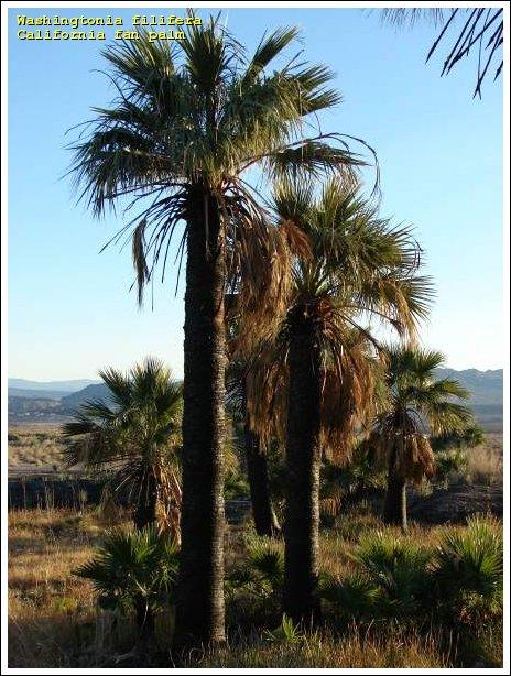 California fan palm.