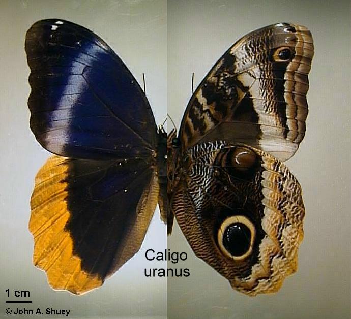 Caligo atreus dionysos clipart #3