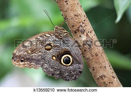Stock Photography of Owl Butterfly (caligo memnon).jpg k13559210.
