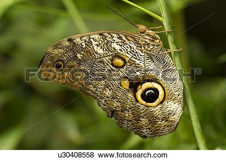 Pictures of Owl Butterfly, Caligo sp, Mindo, Ecuador u30408558.