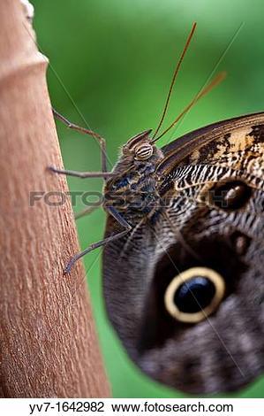 Stock Photo of Owl butterfly, Caligo Memnon Benalmadena Butterfly.