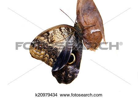 Stock Photo of Caligo eurilochus butterfly k20979434.