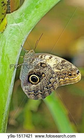 Stock Photography of Caligo eurilochus, big tropical butterfly.