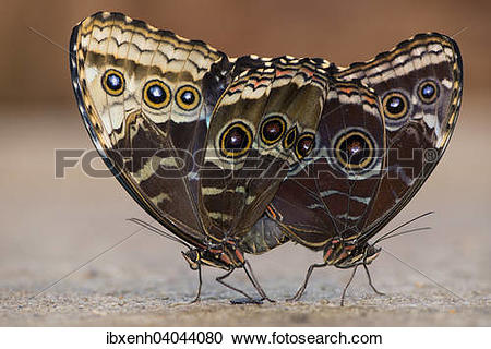 "Stock Photography of ""Giant Owl (Caligo memnon), mating, captive."