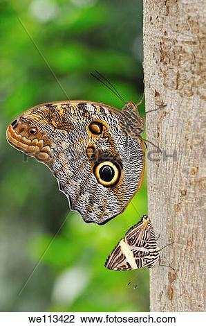 Stock Photo of Tropical butterflies, Owl butterfly Caligo.