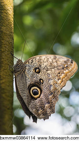 "Stock Photo of ""Forest Giant Owl (Caligo eurilochus), butterfly."