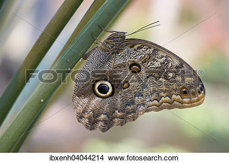 "Stock Photo of ""Forest Giant Owl (Caligo eurilochus), egg."