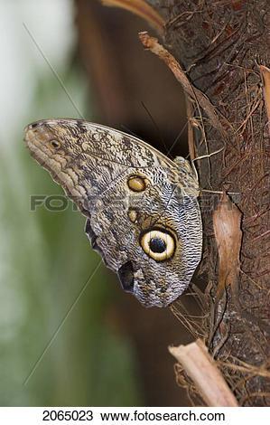 Stock Photo of Owl Butterfly (Caligo Idomeneus) Resting On Trunk.