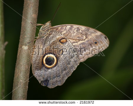 Owl Butterfly Caligo Eurilochus Stock Photos, Royalty.