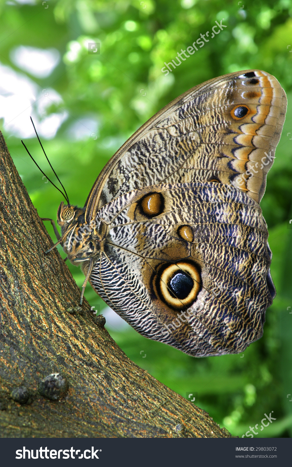 Tropical Butterfly, Giant Owl, Caligo Eurilochus Stock Photo.