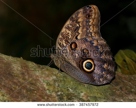 South American Forest Giant Owl Butterfly (Caligo Eurilochus.
