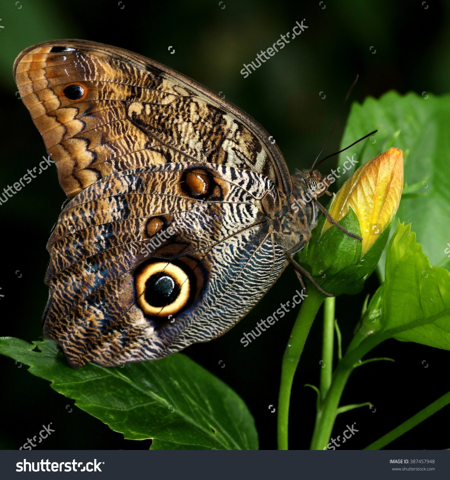 South American Forest Giant Owl Butterfly Stock Photo 387457948.