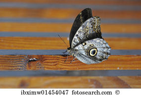 Owl butterfly Stock Photo Images. 1,051 owl butterfly royalty free.