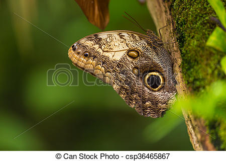 Stock Image of Magnificent owl (caligo eurilochus sulanus.