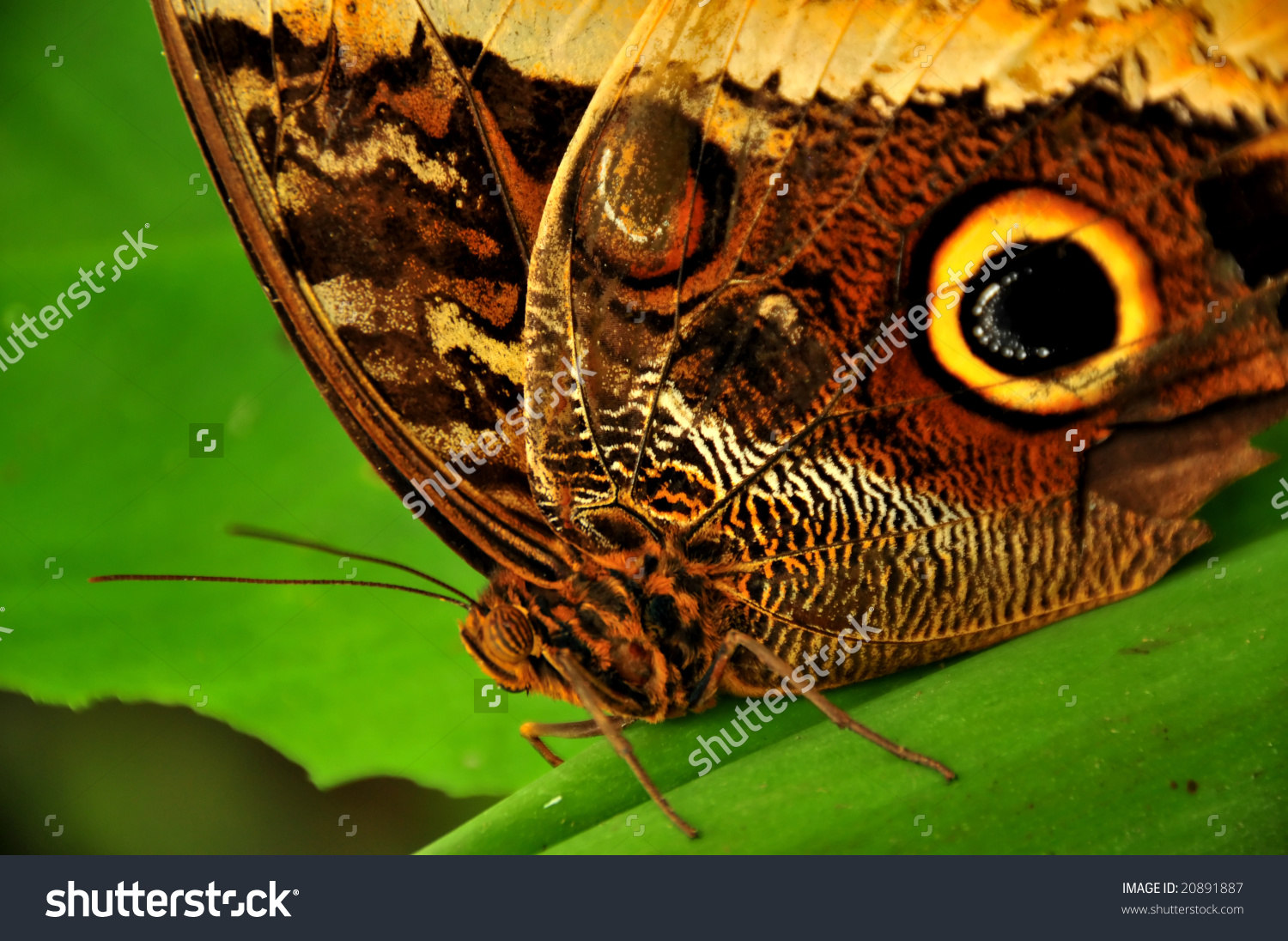 Close Owl Butterfly Caligo Eurilochus Large Stock Photo 20891887.