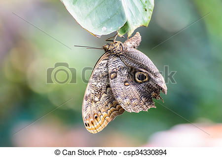Stock Photographs of Owl Butterfly (Caligo eurilochus.