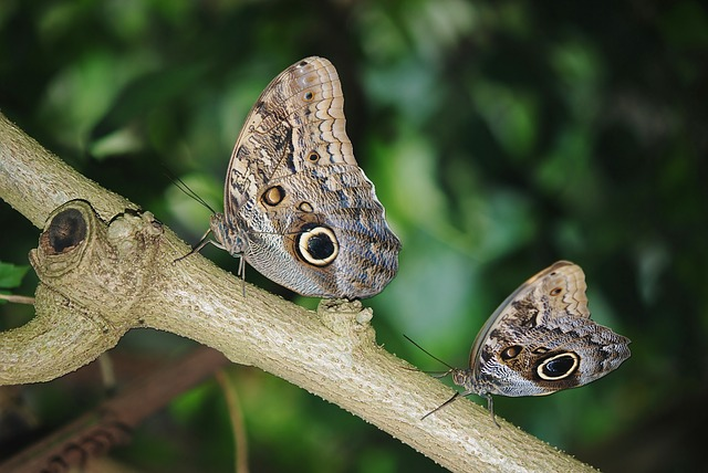 Free photo Morpho Peleides Calipo Eruriloctuin Branch Limb.
