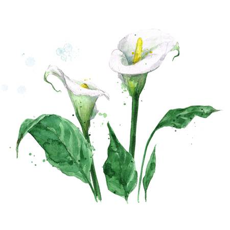 1,767 Calla Lily Stock Illustrations, Cliparts And Royalty Free.