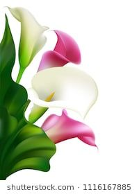 Callas. White flowers. Floral background. Buds. Vector illustration.