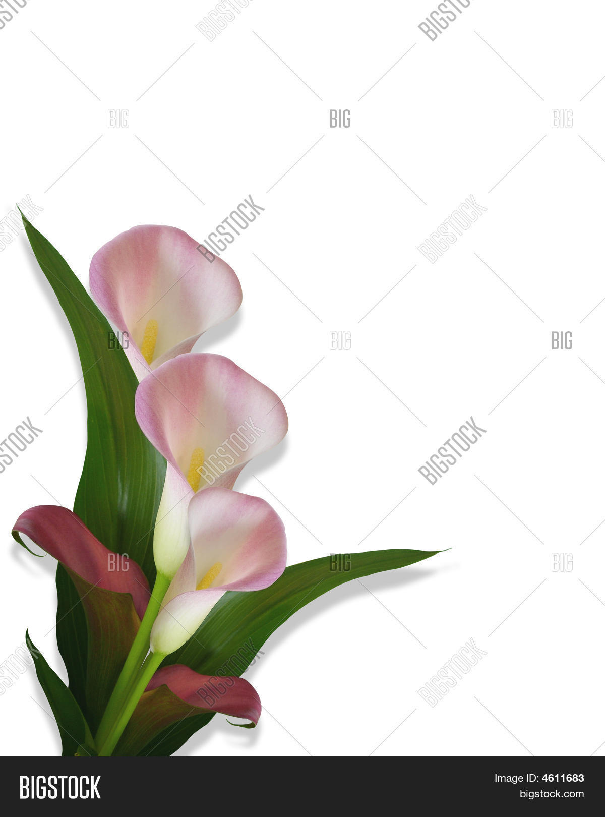 Calla Lilies Border Image & Photo (Free Trial).