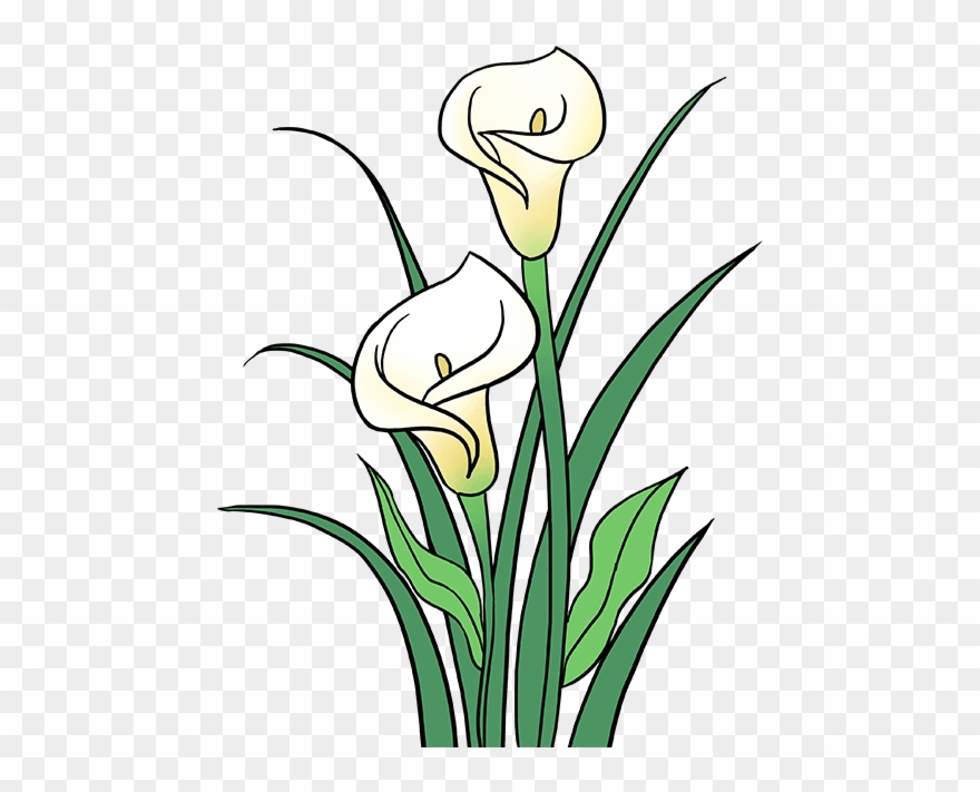 How To Draw Calla Lily.
