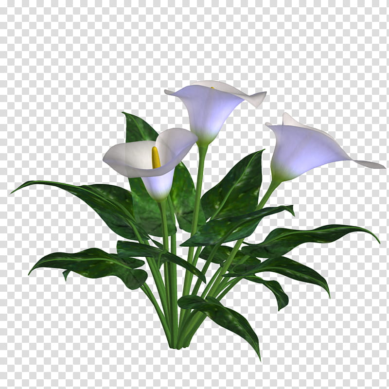 Spring , white calla lily transparent background PNG clipart.