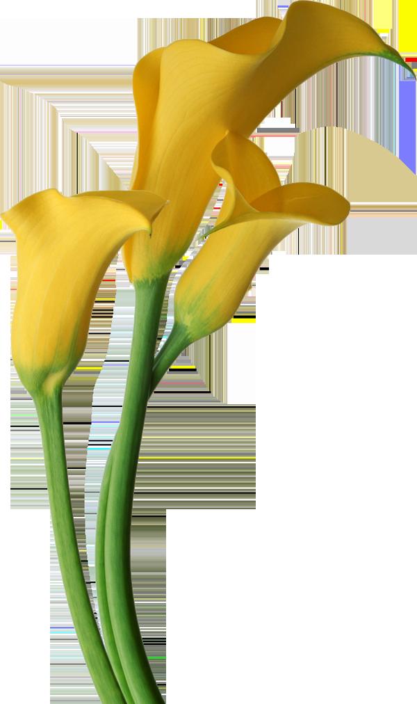 Calla Lily Flower Clip Art.