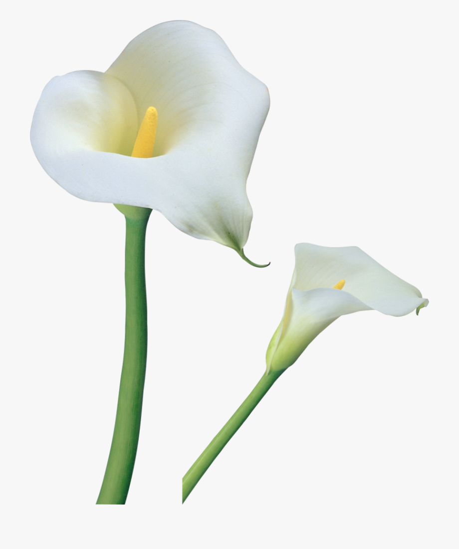 Calla Lily Flower Png , Transparent Cartoon, Free Cliparts.