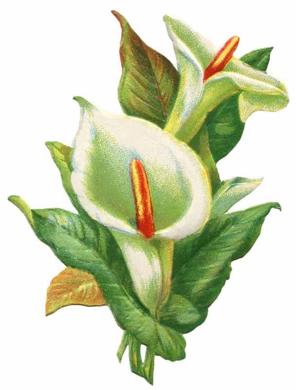 Vintage Easter Lily Clip Art.