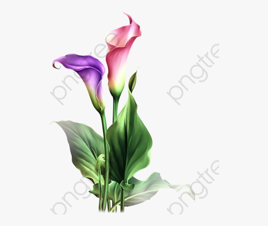 Watercolor Calla Lily Png.