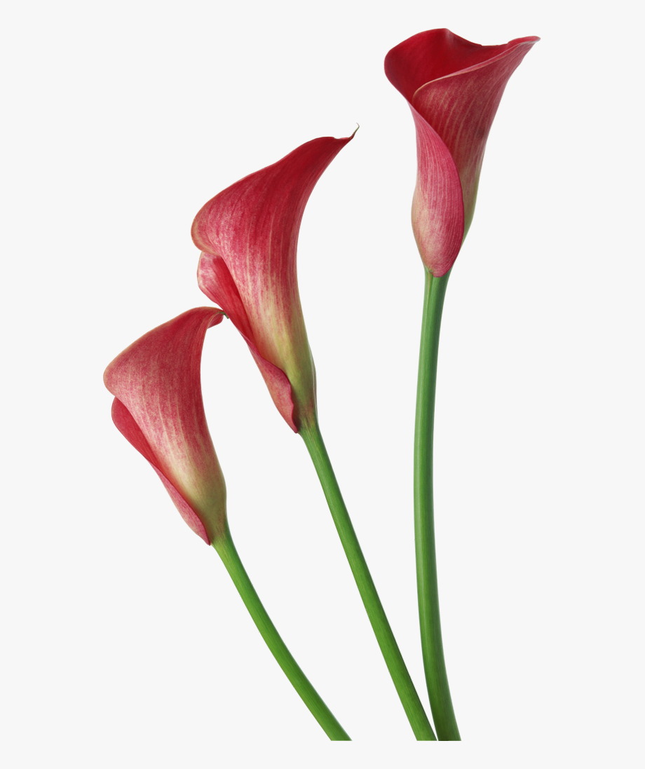 Red Transparent Calla Lilies Flowers Clipart.