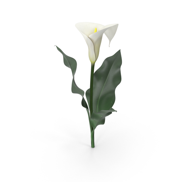 Calla Lily PNG Images & PSDs for Download.